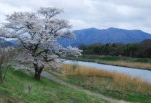 【写真】 篠山川と桜の木
