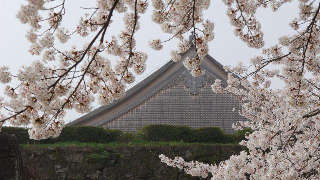 【写真】 桜の篠山城