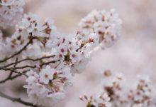 【写真】 桜